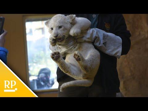 Weiße Löwen-Drillinge im Zoo Magdeburg kräftig gewach ...