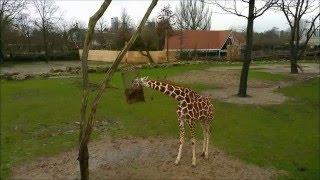 A very hungry giraffe at Zoo Roterdam , DiergaardeBlijdorp.nl