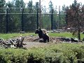 bear fight @ grizzly discovery center, Yellowstone