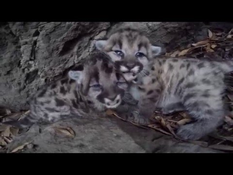 Let These SoCal Mountain Lion Kittens Make Your Morning