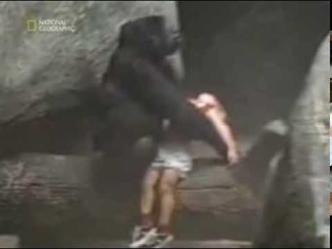 in uno zoo un bambino finisce dentro il recinto dei gorilla!