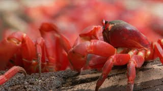For most of the year they hide below ground but with the monsoon and rising humidity it's time to spawn as the red crabs begin to march. However they face ...
