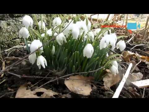 První sněženky v Kostelci nad Orlicí