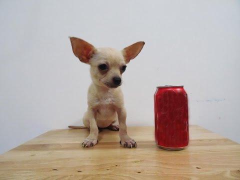 Perros Chihuahua en Venta – Mini Toy, Teacup, Bolsillo, Tacita