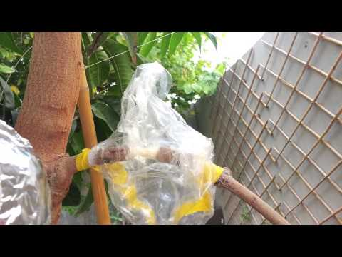 air layering the method ( mango) 2                         ریشه دوانی درهوا انبه ۲