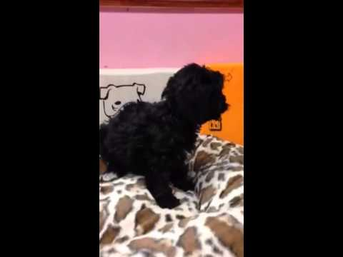 GORGEOUS COCKAPOO PUPPY AVAILABLE