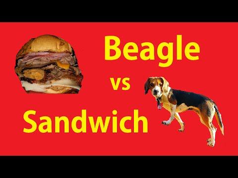 beagle vs panino...chi vincerà?