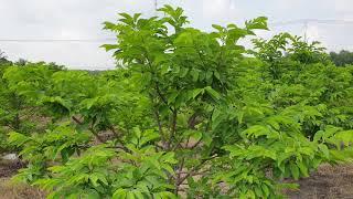 Làm bông mãng cầu không cần lặt lá và thuốc BVTV