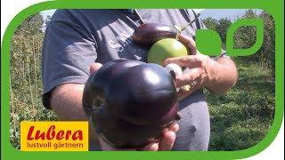 Das Auberginen Testfeld bei Lubera®