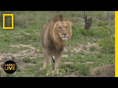 Safari Live - Day 288 | National Geographic