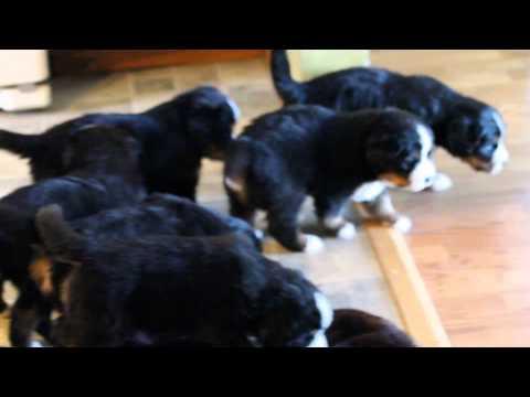 Bernese puppies at 4 weeks  AKC