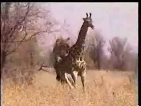 Lion vs giraffe