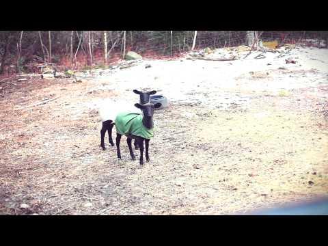 Das Schreien der Lämmer (Schafe)