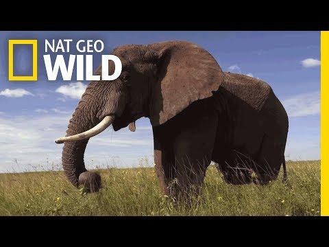 Elephants 101 | Nat Geo Wild