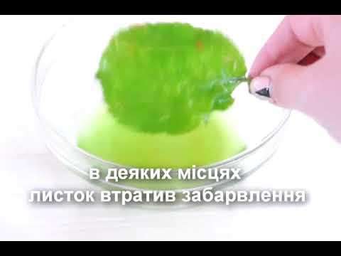 Дослід із виділення хлорофілу з зеленого листя