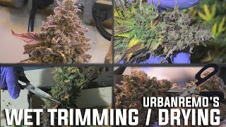 Wet Trimming and Drying the Oreos #1 by Urban Grower