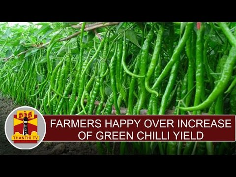 Farmers-Express-Happiness-Over-Increase-of-Green-Chilli-Yield-Price-Hike