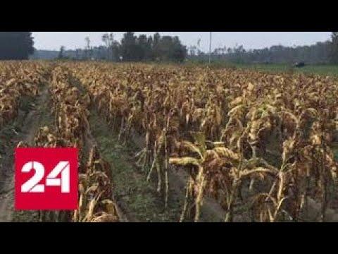 Ураган \Флоренс\ уничтожил половину урожая табака в США - Россия 24 - DomaVideo.Ru