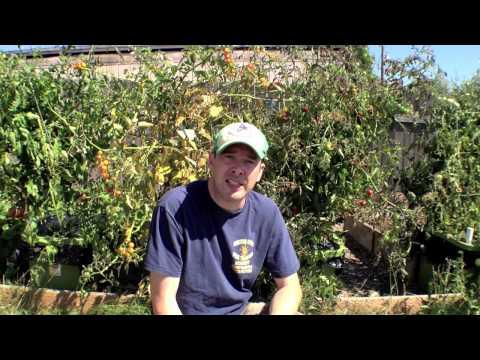 How to quadruple your tomato crop harvest.