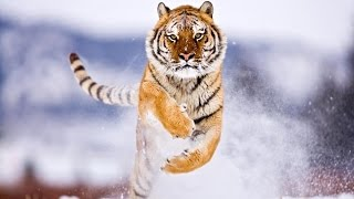 Siberian Tigers Rescued in Russia - GoPro Video IFAW full download video download mp3 download music download