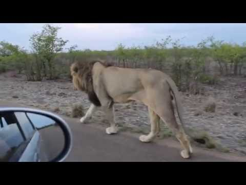 Man learns not to mess with the Asiatic Lion