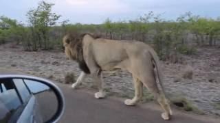 Majty chyba szybko zapełnił! Dlatego lepiej nie wk*rwiać kamerą dzikiego lwa!