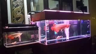Video Arwana super red jumbo MP3, 3GP, MP4, WEBM, AVI, FLV September 2017