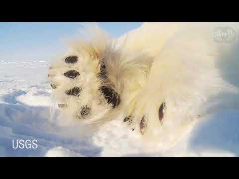 Video - 56 πολικές αρκούδες περιμένουν σε ένα χωριό να δημιουργηθεί θαλάσσιος πάγος