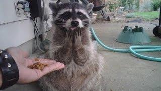 Chez Extermination Matech , nous adorons les animaux , Regarder ce drôle de vidéo de raton-laveur :)