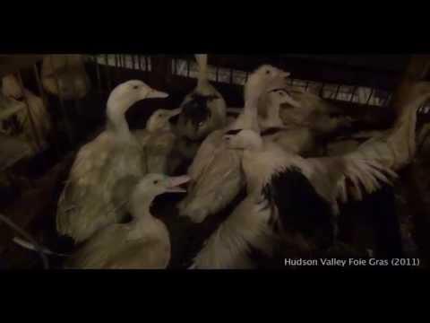 """ecco come viene prodotto il """"foie gras"""": torturando le oche!"""