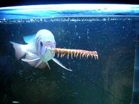 巨型蜈蚣 PK 大魚!