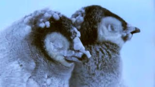 Penguin Chicks Struggle To Survive - Planet Earth - BBC Earth