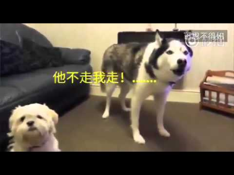 主人带第二只狗回家後,家里的老大哈士奇表示不服!
