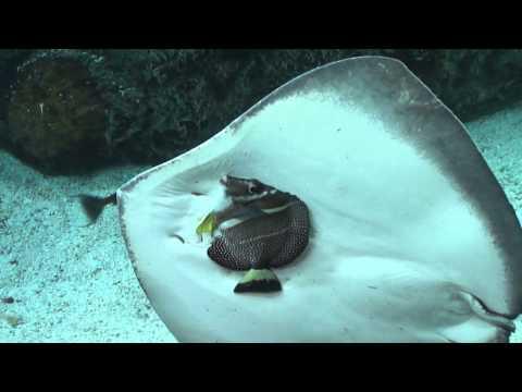 PŁASZCZKA PRÓBUJE DOBRAĆ SIĘ DO RYBY W OCEANARIUM