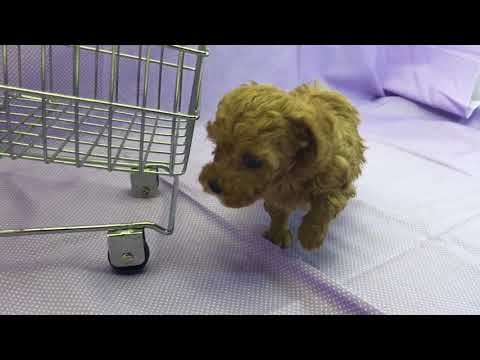 Asher red boy toy poodle