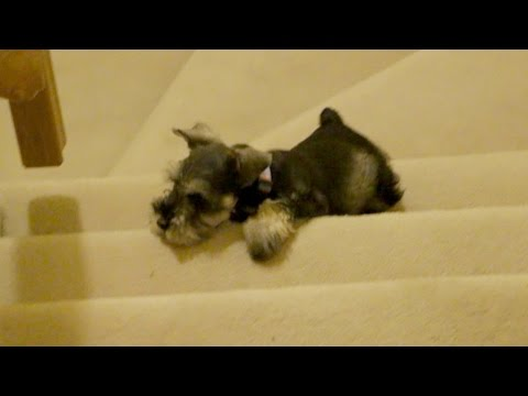 Cute Mini Schnauzer Puppy Tries To Go Up Stairs
