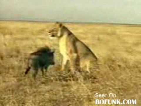 León atacado por jabalí