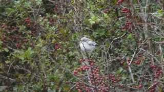 Video Masked Shrike at Spurn 21/9/14 MP3, 3GP, MP4, WEBM, AVI, FLV Agustus 2018