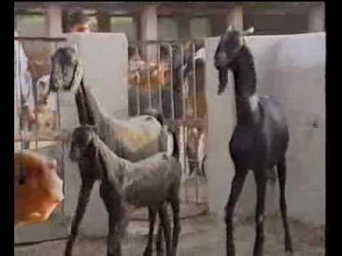 Livestock model farm Punjab Pakistan part-2 Dr.Ashraf Sahibzada