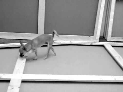 Chihuahua Xaver Part 1