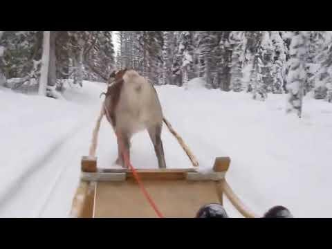 Lapland - Rendier in je nek tijdens de sleetocht