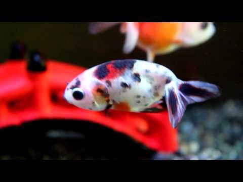 我が家の金魚。江戸錦