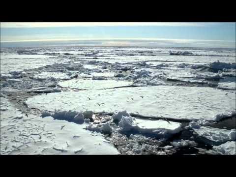 Kittiwakes in Greenland Sea Ice