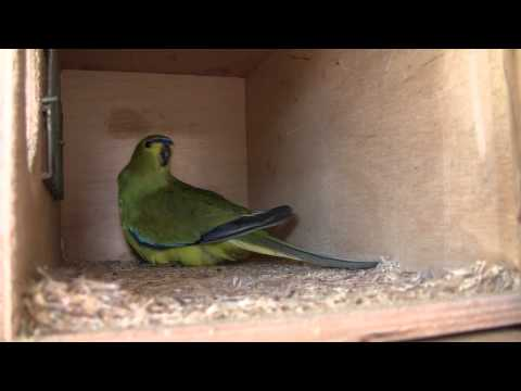 Elegant parrot with her eggs