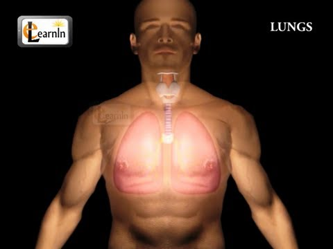 Human Lungs   Parts of Respiratory system   Human anatomy   3D animation videos