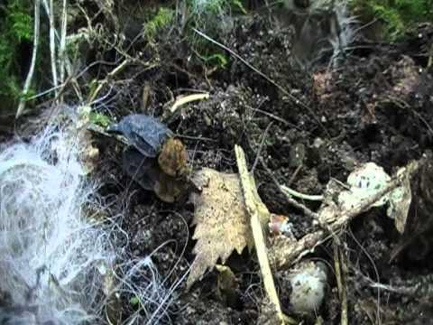 oranje aaskever (Oiceoptoma thoracicum) paring 2010 05 19