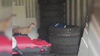 animale saritura comica capra