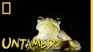 This Frog is a True Gladiator | Untamed by Nat Geo WILD