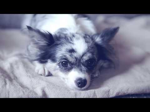 Чихуахуа Софи рассказывает о режиме дня собаки: кормление, игры, сон