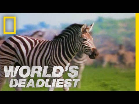 zebra - Before he can mate with a female, this young stallion has to prove he has the right stuff ... he may need to fight off her dad. World's Deadliest: Animal Bat...